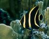 French Angelfish, juv. (Pomacanthus paru) - Bonaire, Netherlands Antilles