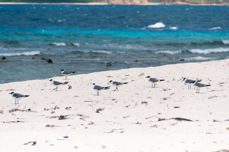 Birds on the beach - Anguilla