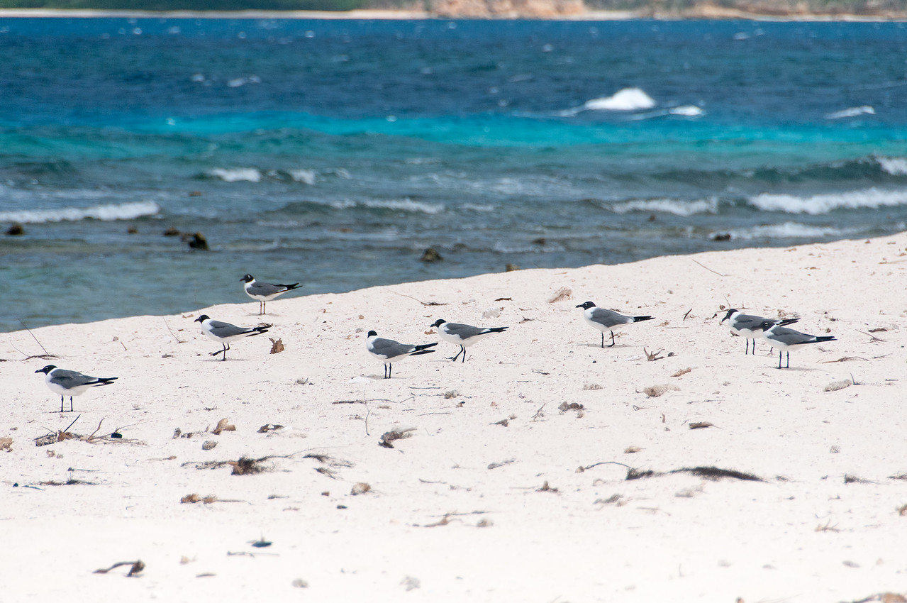 Birds on the beach - Anguilla