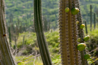 Close up of cactus on the island of Aruba