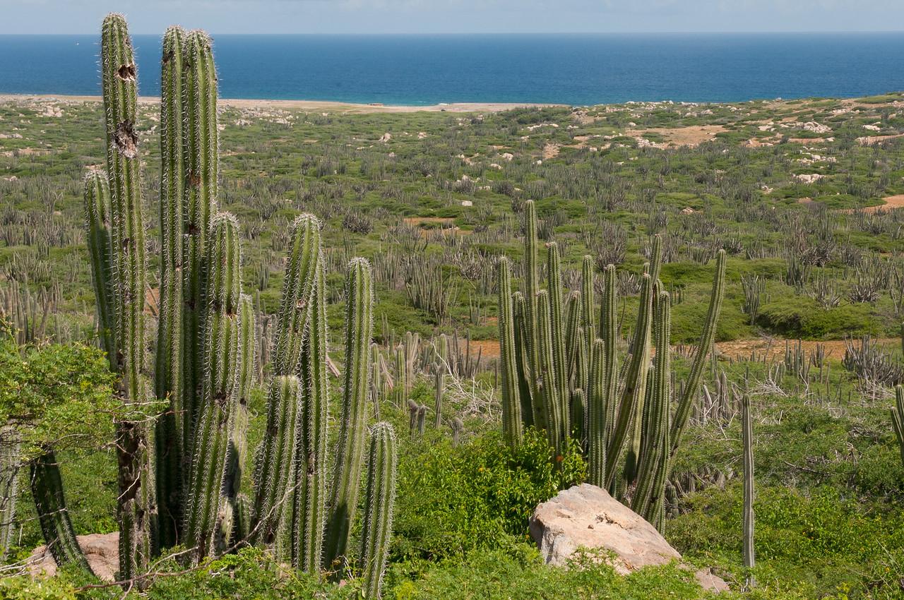 Catcus on the island of Aruba