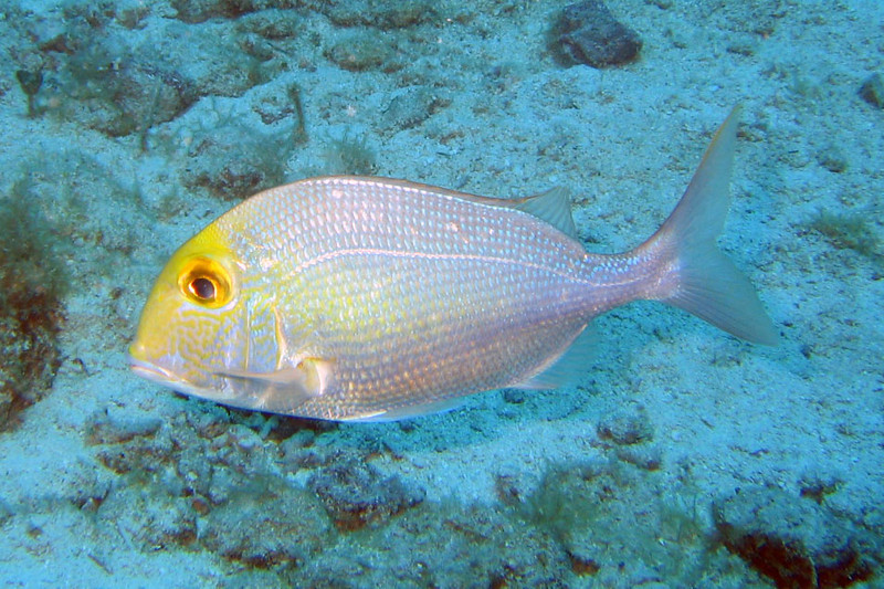 Fish - Black Beards, Bahamas