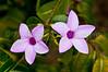Tropical flowers on the Bahama Islands, Caribbean.