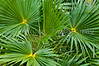 Palm fronds in the bushes on the Bahama Islands, Caribbean.