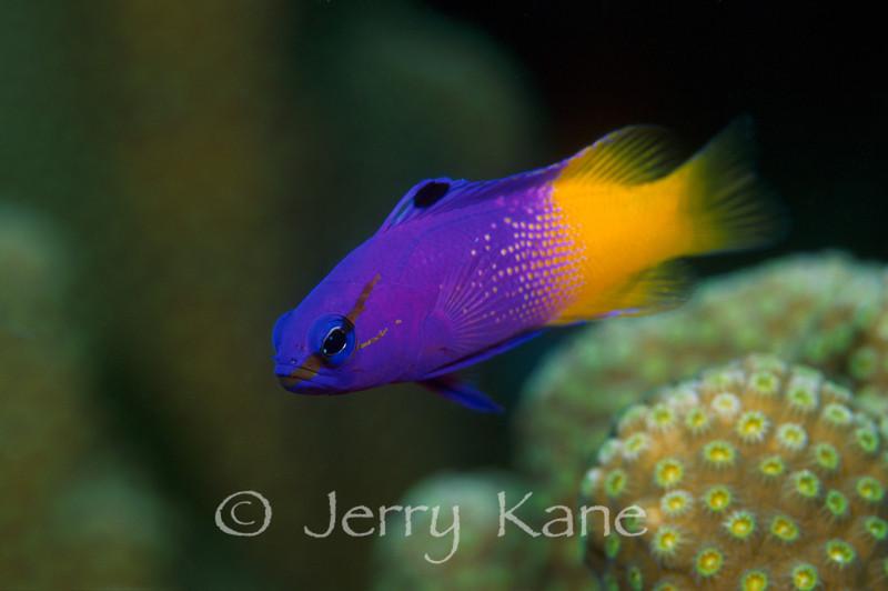 Fairy Basslet (Gramma loreto) - Bonaire, Netherlands Antilles