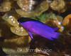 Blackcap Basslet (Gramma melacara) - San Salvador, Bahamas