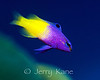 Fairy Basslet (Gramma loreto) - San Salvador, Bahamas