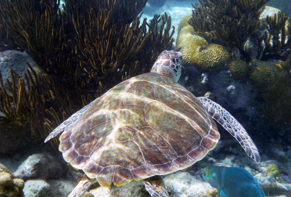 Viewing Sea Turtles in Bonaire