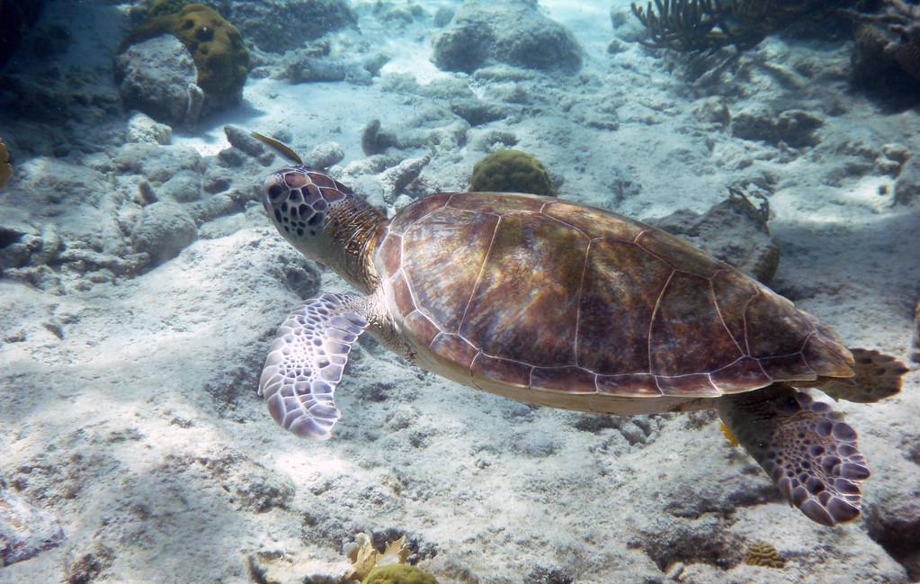 Snorkeling with sea turtles in Bonaire