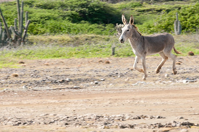 Donkey running in Bonaire