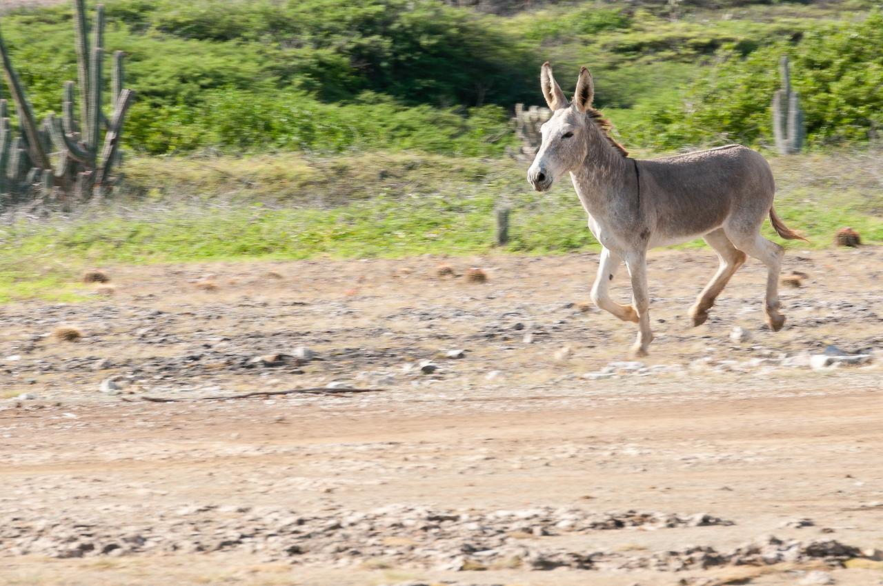 Donkey running in Bonaire