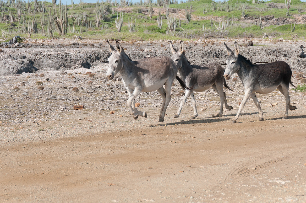 Donkeys galloping on the island of Bonaire