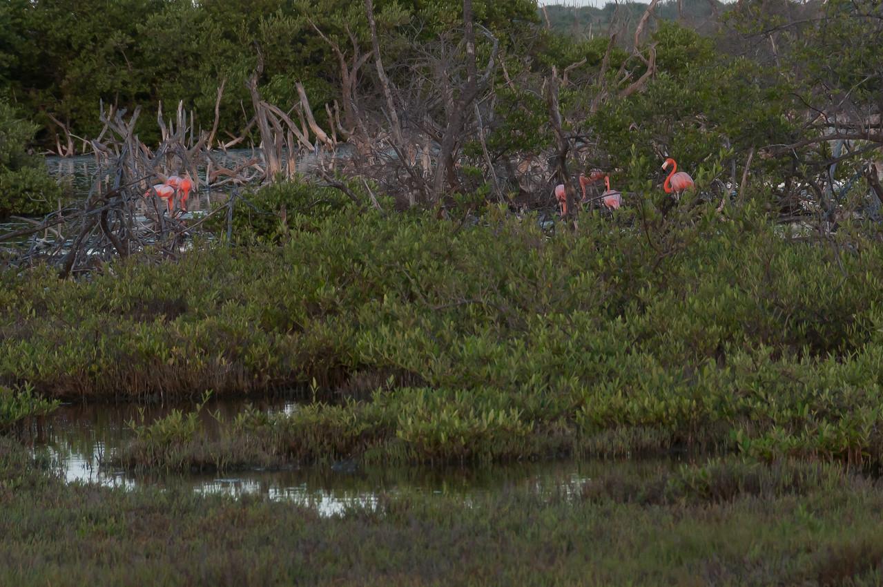 American flamingos on the island of Bonaire