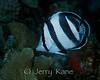 Banded Butterflyfish (Chaetodon striatus) - Bonaire, Netherlands Antilles