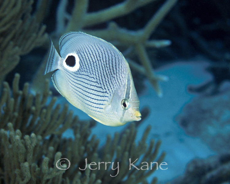 Foureye Butterflyfish (Chaetodon capistratus) - Bonaire, Netherlands Antilles
