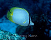 Spotfin Butterflyfish (Chaetodon ocellatus) - Bonaire, Netherlands Antilles