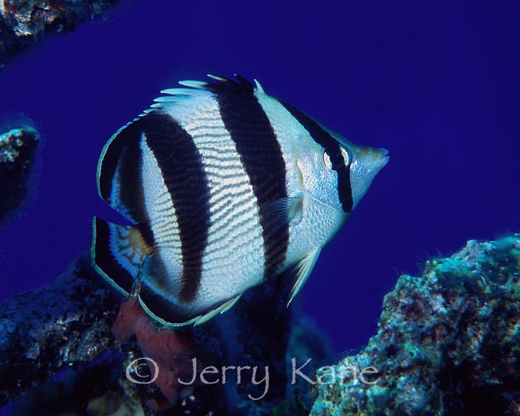 Banded Butterflyfish (Chaetodon striatus) - San Salvador, Bahamas