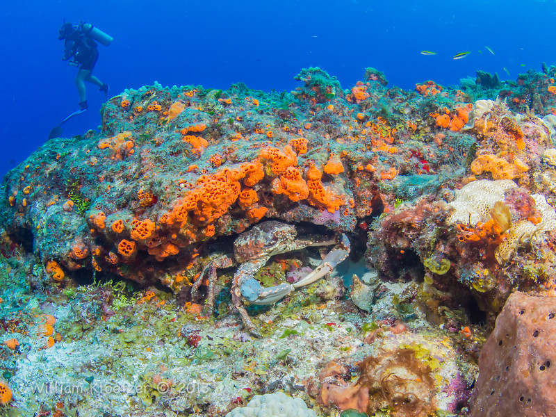 Phylum Arthropoda Class Crustacea Characteristics Channel Clinging Crab Phylum Arthropoda Subphylum Crustacea Class