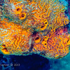 Orange Ball Sponge:  phylum Porifera; Cozumel, Mexico