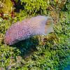 Azure Vase Sponge:  phylum Porifera; Cozumel, Mexico