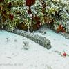 Tiger Tail Sea Cucumber:  phylum Echinodermata - class Holothuroidea; Cozumel, Mexico