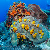 Ambrosia Sponge (phylum Porifera), Encrusting Zoanthid (phylum Cnidaria):  Cozumel, Mexico