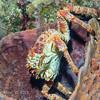 Channel Clinging Crab:  phylum Arthropoda - subphylum Crustacea - class Malacostraca - order Decapoda; Cozumel, Mexico