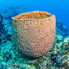 Netted Barrel Sponge:  phylum Porifera; Cozumel, Mexico