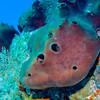 Red Boring Sponge:  phylum Porifera; Cozumel, Mexico
