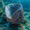 Bell Sponge:  phylum Porifera; Cozumel, Mexico