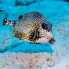 Smooth Trunkfish:  Cozumel, Mexico