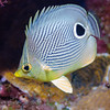 Four-eyed Butterfly Fish:  Cozumel, Mexico