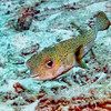 Porcupinefish:  Cozumel, Mexico