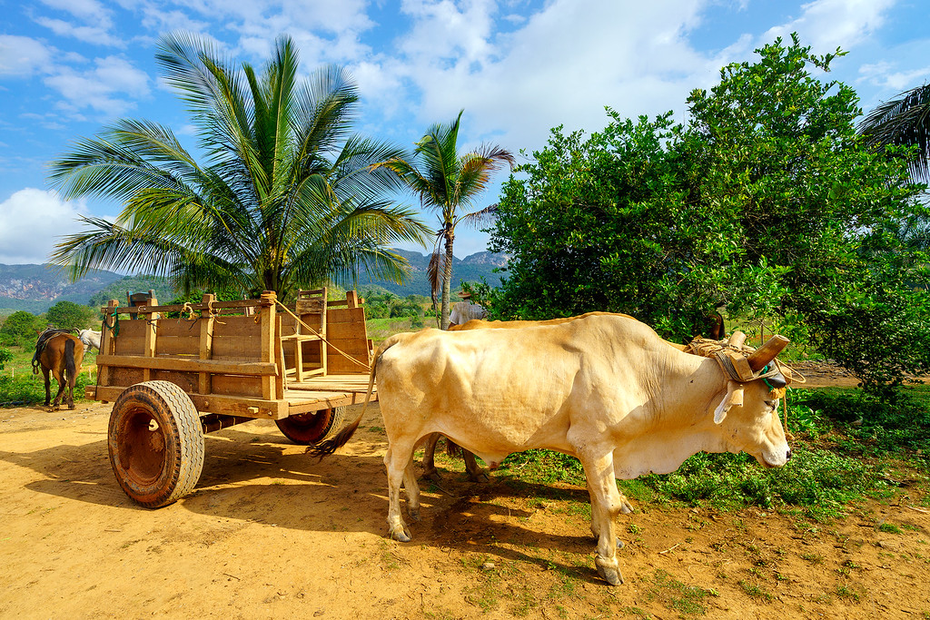 Vinales Ox Cart