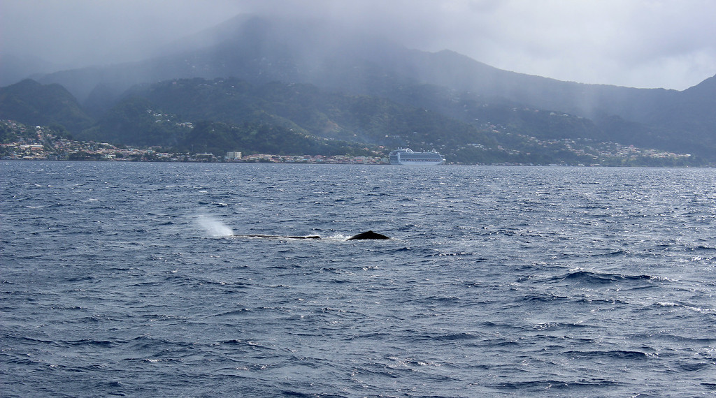 Whale watching in Dominica - Going whale watching in the Caribbean