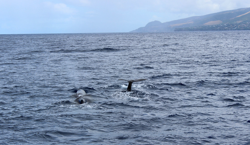 Two whales side by side in the Caribbean - Mother and calf