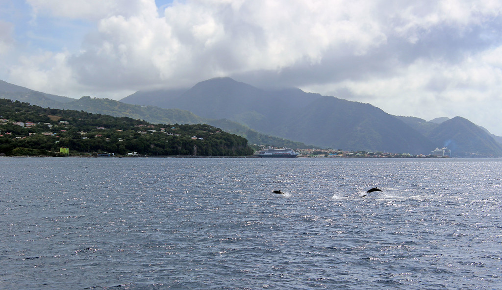 Dolphin watching tour in the Caribbean