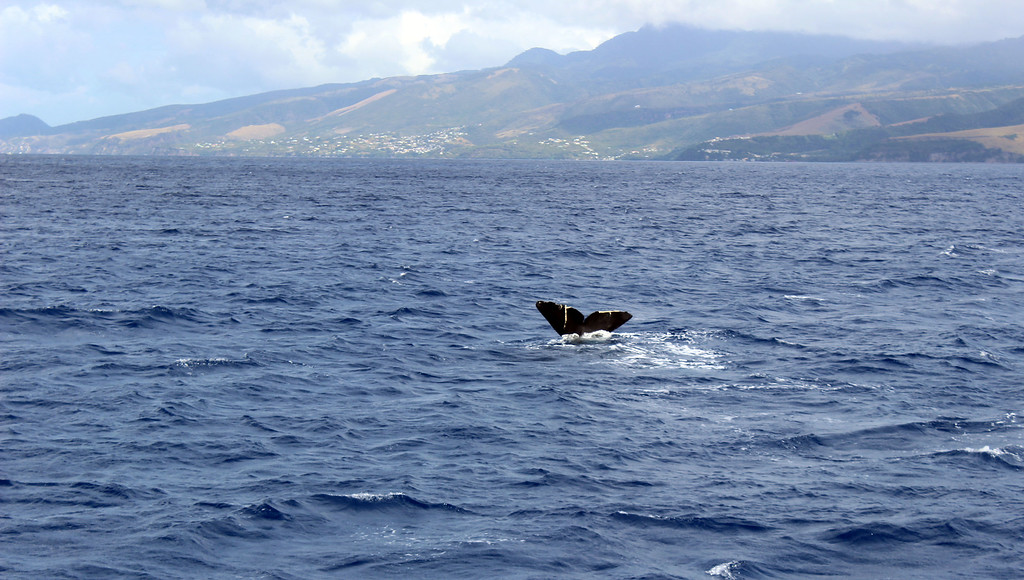 Dominica whale watching tour