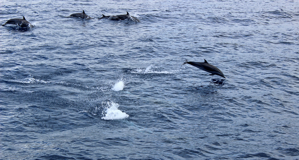 Dolphin watching tour in Dominica