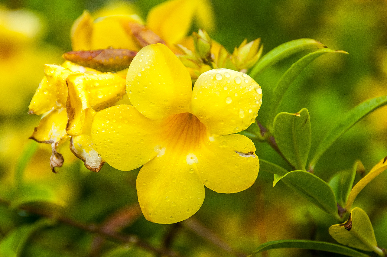 Close-up of flowering plant in Dominica