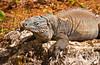 An iguana on the Grand Cayman Islands.