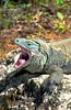 An iguana yawning on the Cayman Islands, Caribbean.