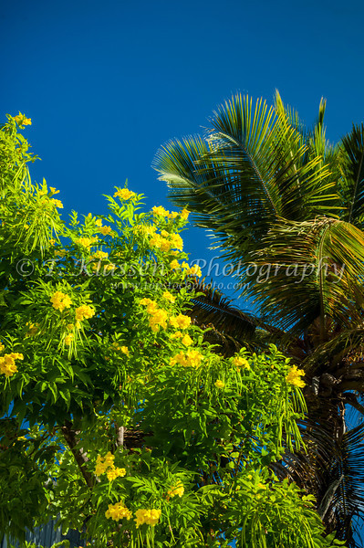 A palm tree and a tree with yellow flowers in Cockburn Town, Grand Turk, Turks and Caicos Islands.
