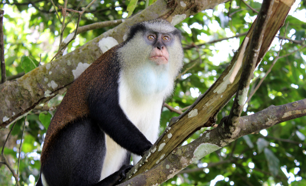 Mona Monkey in Grenada