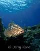 Nassau Grouper (Epinephelus striatus) - Cozumel, Mexico