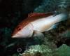 Coney (Epinephelus fulvus) - San Salvador, Bahamas