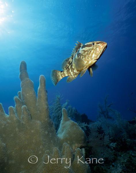 Nassau Grouper (Epinephelus striatus) - San Salvador, Bahamas