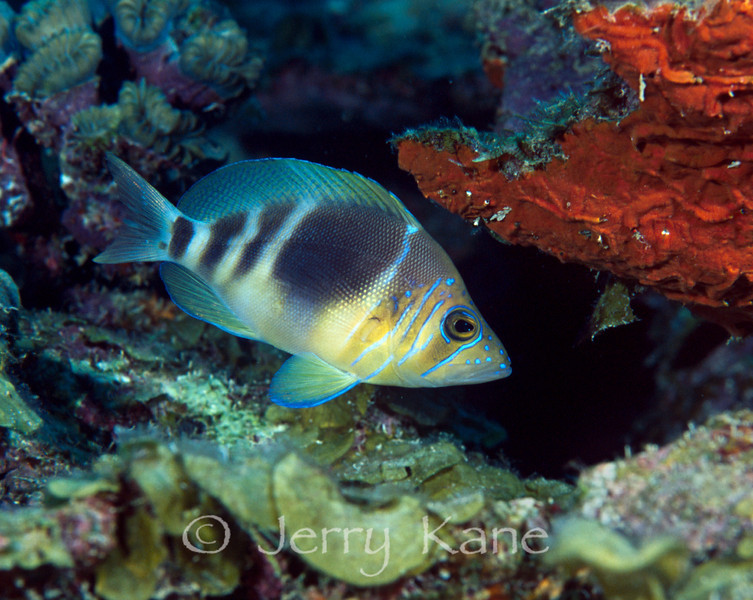 Barred Hamlet (Hypoplectrus puella) - Bonaire, Netherlands Antilles
