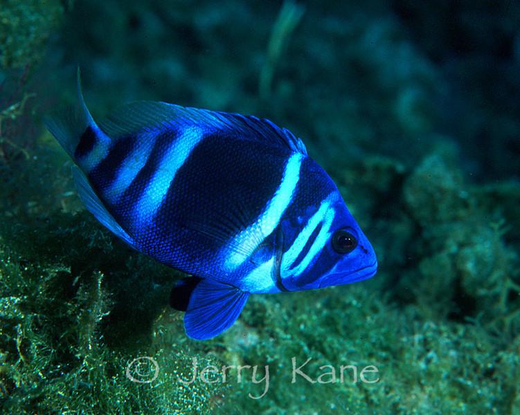 Indigo Hamlet (Hypoplectrus indigo) - San Salvador, Bahamas