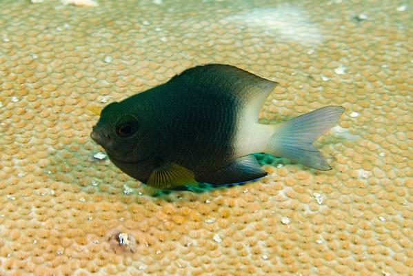 Roatan (Fish)